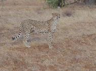 wpid-cheetah.jpg