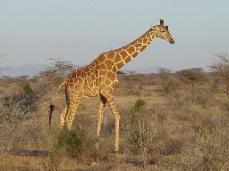 wpid-giraffe.jpg