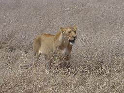 wpid-lion.jpg