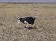 wpid-ostrich.jpg