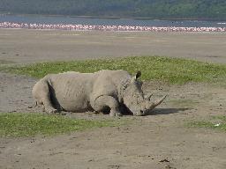 wpid-rhino.jpg