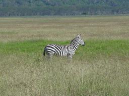 wpid-zebra.jpg