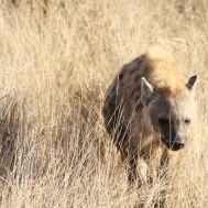 hyena walking on grass