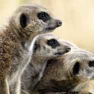 brown meercats