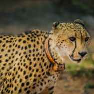 selective focus photography of adult leopard