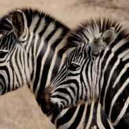 stripes zebra stripes zebras wild